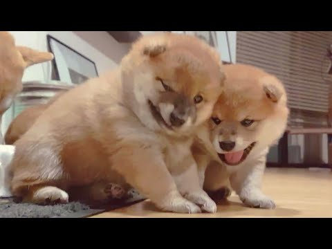 What are they doin? (Part 1) Shiba Inu puppies (with captions)