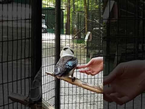 Laughing kookaburra vocalization skills