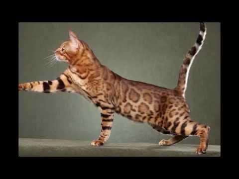 Сококе, соукок, кенийская лесная кошка (Sokoke cat) породы кошек( Slide show)!