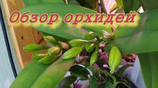 Обзор орхидей бутоны у каттлеи адаптация вандовых Cordata Dowiana Wine Delight