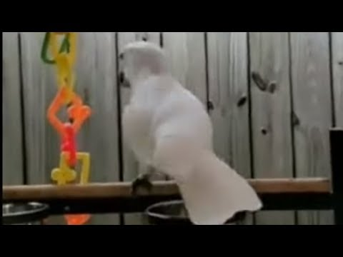 Excited cockatoo just can't stop dancing!