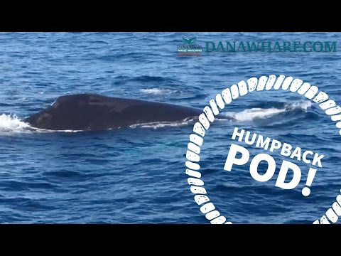12 Humpback Whales off Dana Point