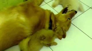 Wolly & Bizy (pomeranian)  Play With Valen (golden Retriever)