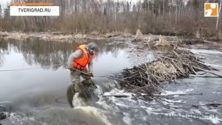 разбор бобровой плотины