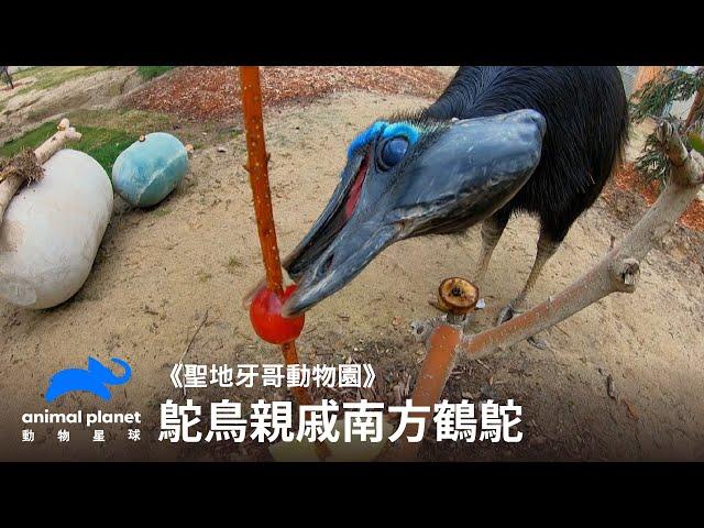 鴕鳥那個沒有名氣的親戚——南方鶴鴕 動物星球頻道