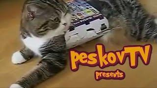 Смешные кошки #3. Толстый кот и коробка.