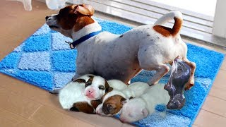 Mommy Jack Russell Dog Giving Birth To 5 Cute Puppies