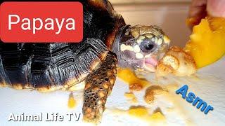 ?tortoise eating papaya my cut…
