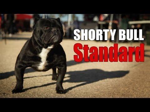 SHORTY BULL - BREED STANDARD