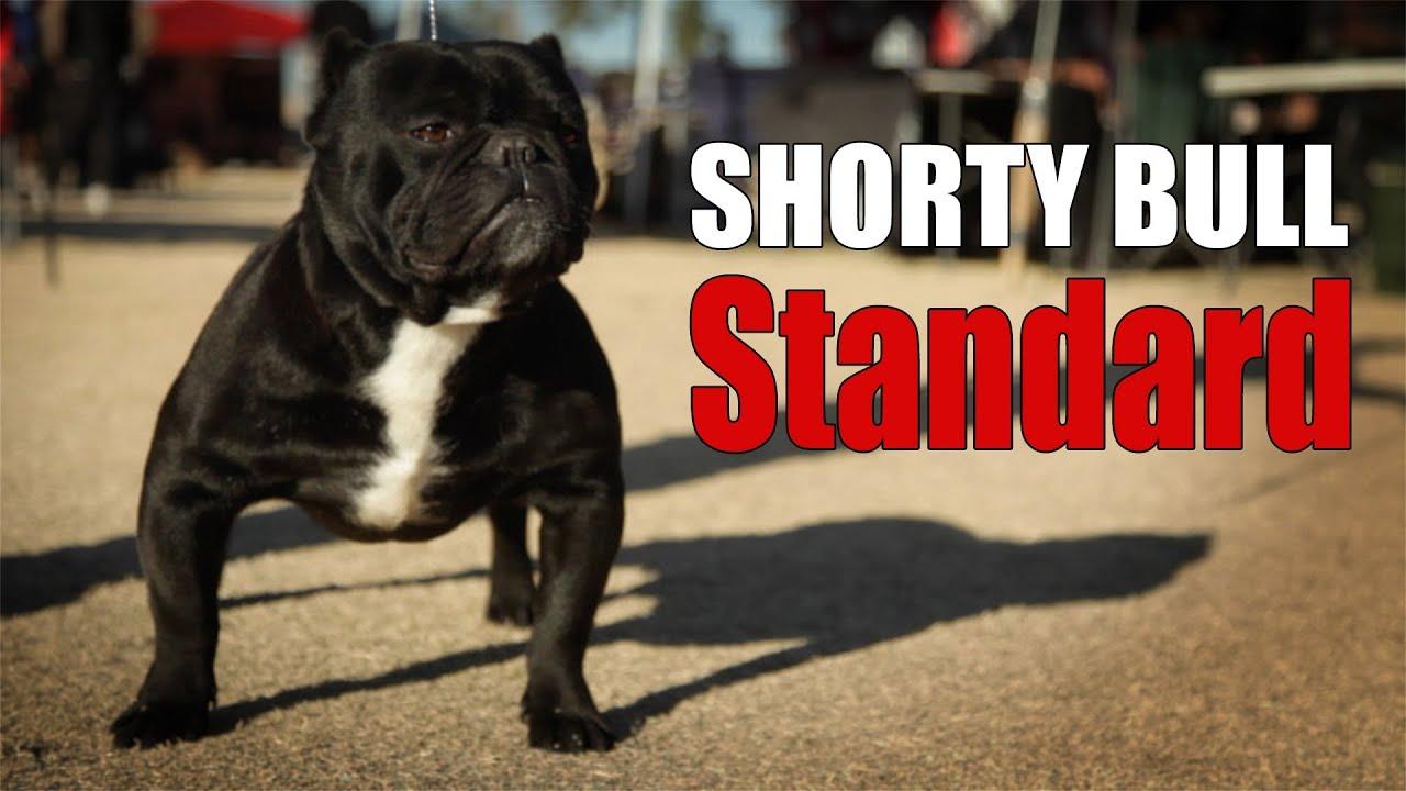2da77517b3 SHORTY BULL - BREED STANDARD - YouTube