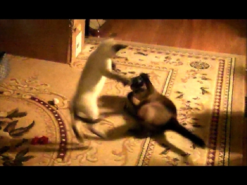 Longest Siamese Cat and Kitten Fight on the Internet