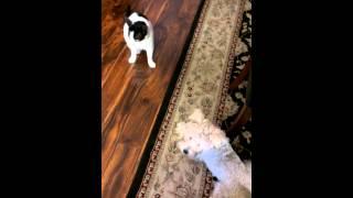 Schnauzer With Cat Like Skills Vs Agitated Kitty
