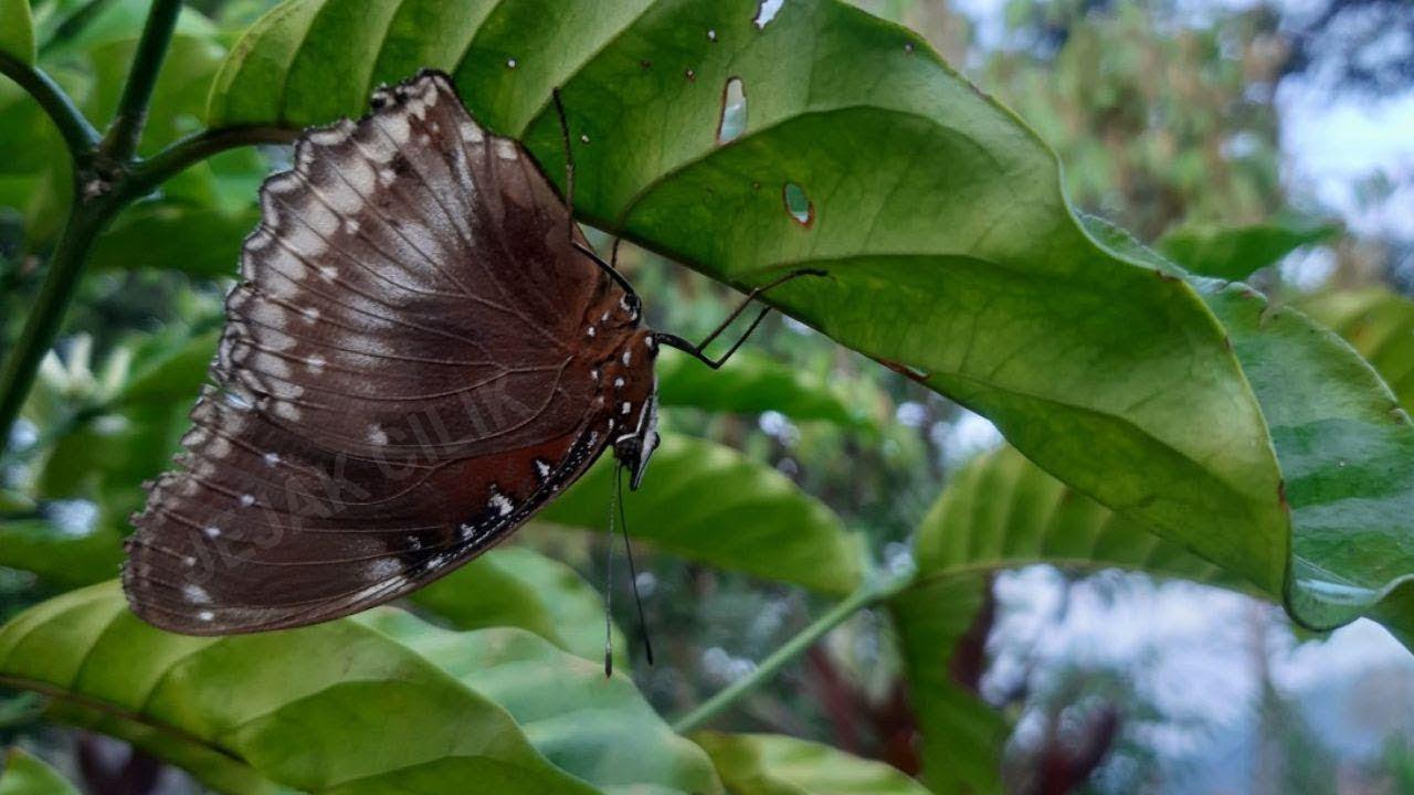 Erek Erek Bergambar Kupu Kupu Kupu Kupu Butterfly Youtube