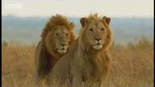 King lion duo and their pride - BBC wildlife A brief look at the marsh prides reign of power.  Their cubs are constantly in danger from new males trying to move in on their territory. From the BBC.
