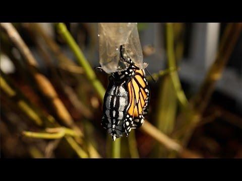 Metamorphosis of Monarch Butterfly