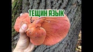 Осенние грибы / Грибы в октябре / Тещин язык