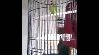 Burung LoveBird Ngekek Juara