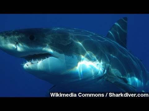 Shark Attacks California Swimmer. What Are The Odds?