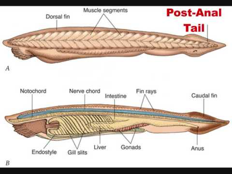 chordate dissection report 9- project & field collection 10 marks total75marks  paper ii- higher non  chordata (annelida to echinodermata) the habits, morphology  external  characters, dissection of gill lamella and its permanent preparationtransverse.