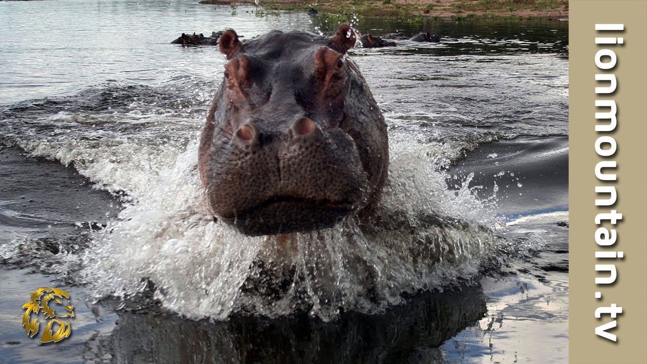 Hippo attacks and Chase Wildlife Filmmaker