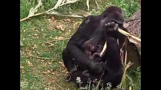 Нидерландская горилла родила близнецов (новости)(http://www.ntdtv.ru Нидерландская горилла родила близнецов. Уникальное пополнение в зоопарке Нидерландов, располож..., 2013-06-19T13:44:38.000Z)