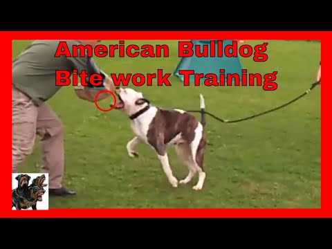 American Bulldogs - Bite work training Security Protection Dog Training