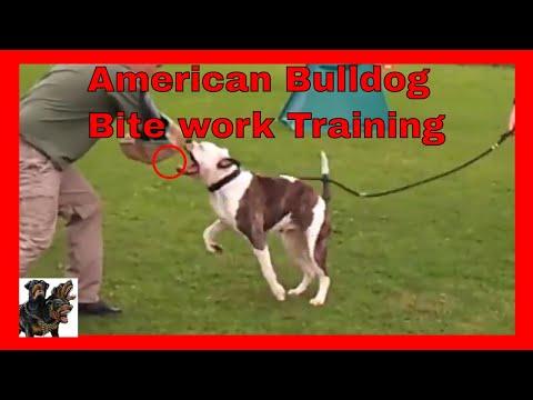 Protection Security Dog Training American Bulldogs - Bite work cerberusk9uk