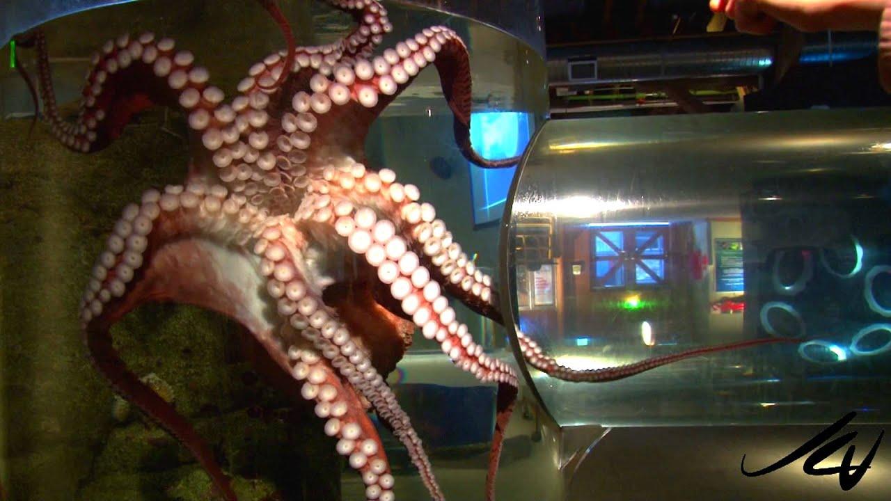 giant pacific octopus seattle aquarium hd youtube youtube