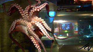 Giant Pacific Octopus,  Seattle Aquarium HD