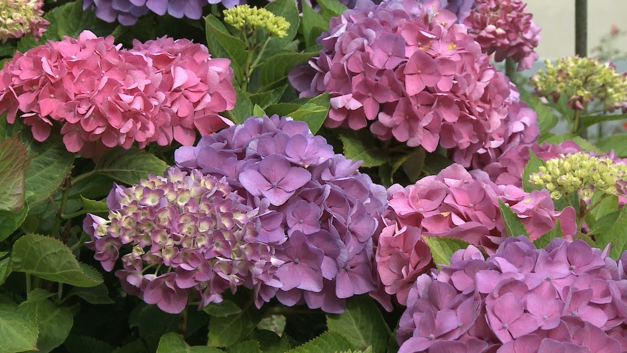 Why Didn T My Hydrangeas Bloom Southern Living Youtube