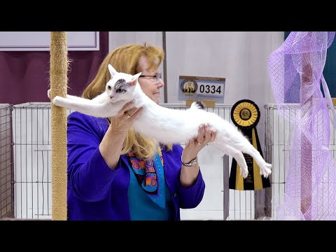 CFA International Cat Show 2018 - Vicki Nye Shorthair Premiere Final