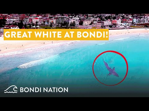 Great White Shark at Bondi Beach - Spotted by Drone!