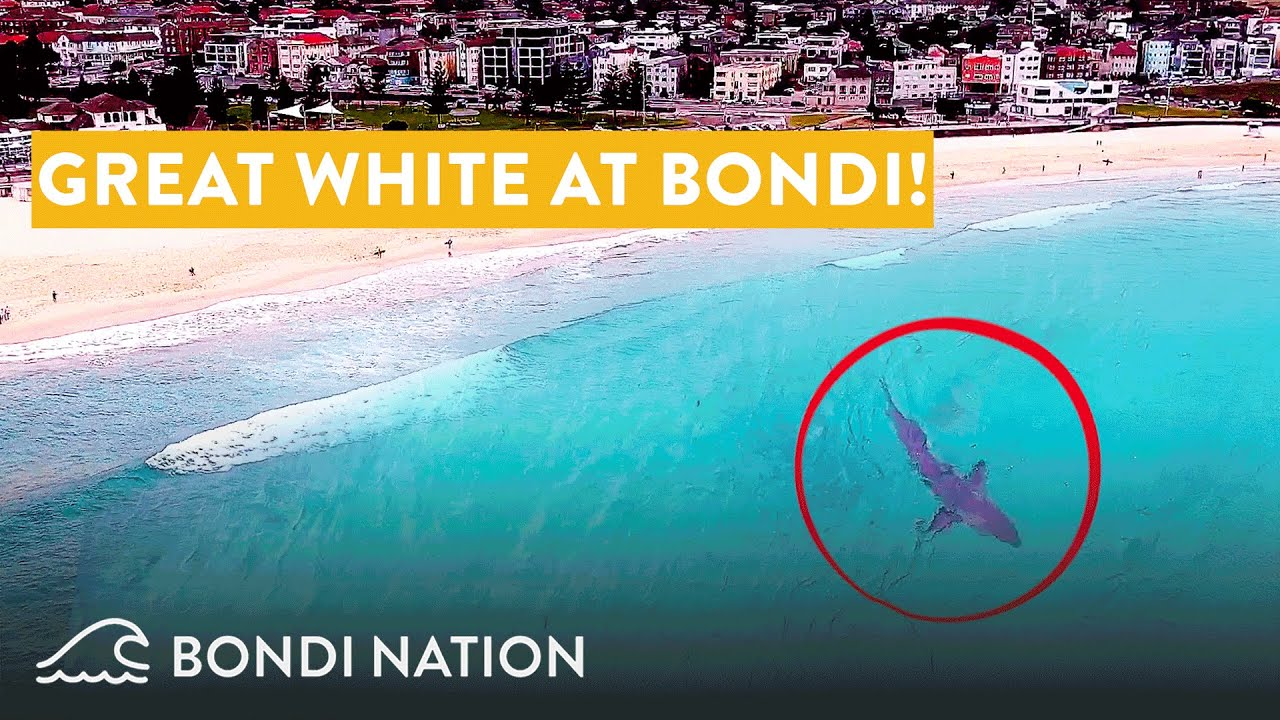 Download Great White Shark at Bondi Beach - Spotted by Drone!