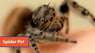 Jumping Spider Pet