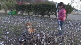 柴犬タロウと家族の日記。 落ち葉に埋もれるタロウ。 Shibainu.