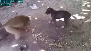 Собака против обезьяны. Прикол