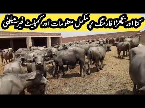 calf fattening business 100% correct challenge information|katta Bachra farming|farming tips