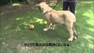 大型犬のお問合せはこちらから! http://www.masaki-collection.jp/pupp...