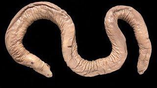Atretochoana eiselti или Членаконда