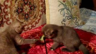 MVI_5113.AVII Шоколадные британские котята