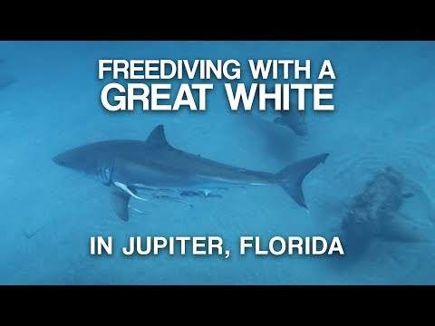Kelsi - Great White Shark Casually Swims By Guy In Jupiter