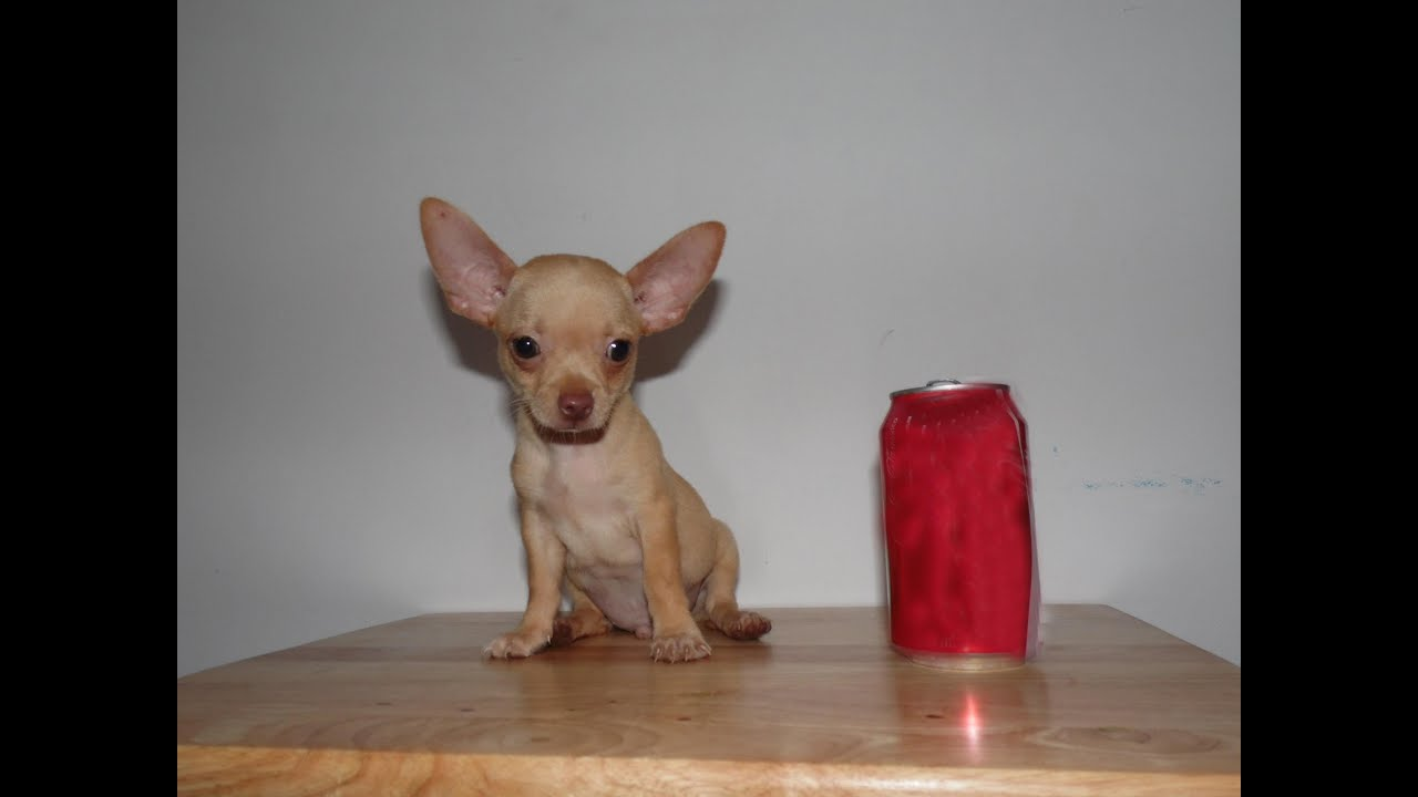 Teacup Chihuahua Funny Youtube
