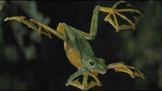 """Loài ếch kỳ quặc, bay lượn """"như chim"""", có ở VN"""