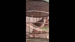 Suara Burung  Perkutut Lokal Mantab