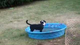 Border Collie Puppy Tippy chasing bugs in pool