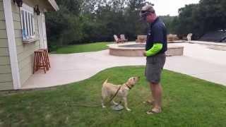 Target Training A 20 Week Old Labrador Retriever Puppy