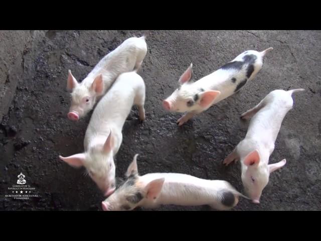 Beneficiarios de Producción de Cerdos a través de FIRSA