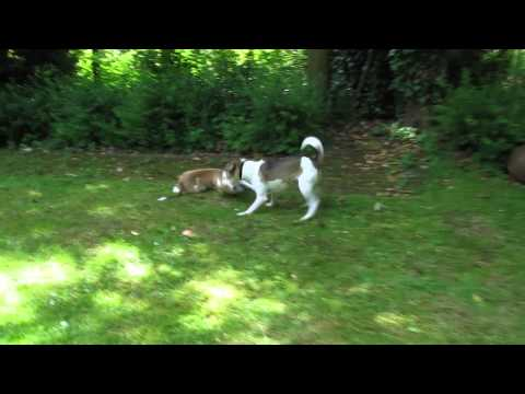 Sweet Dog Baby is playing, Hundebaby spielt mit Jack Russel