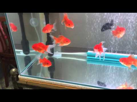 Crystal Clear Goldfish Tank With DIY Overhead Filter.
