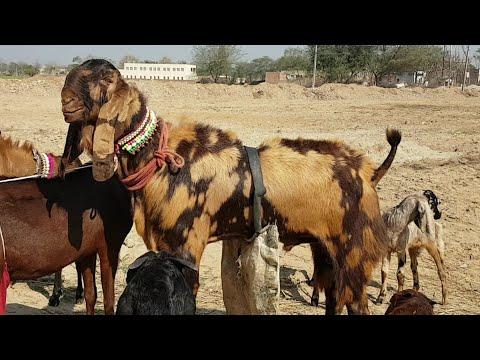 Bhatinda Bakra Mandi | Punjabi Goats.